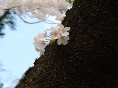2008年、お城の桜