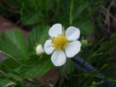 ワイルドベリーの花