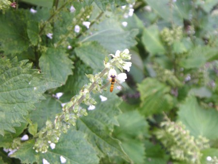 小さな虫は蜂?